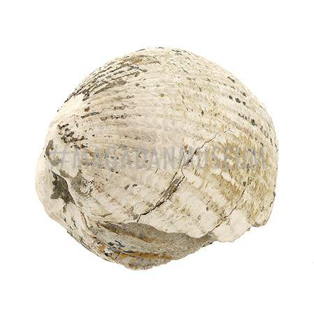 Окаменелость. Двустворчатый моллюск